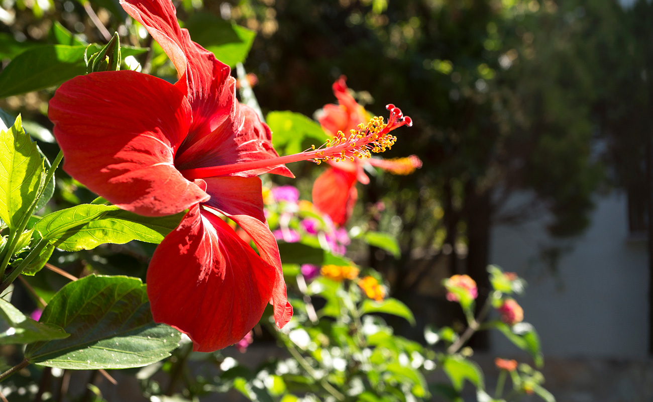A close picture of a red Hibiscus flower