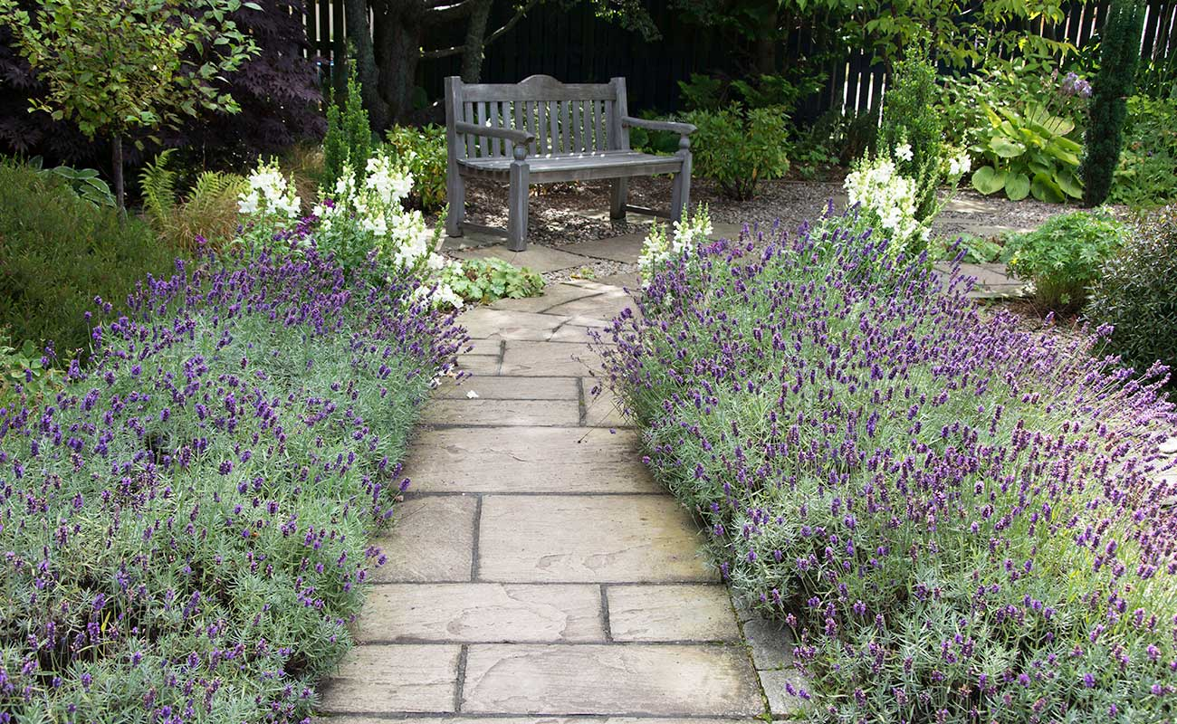 Garden path with lavender plants on the sides leading to a bench