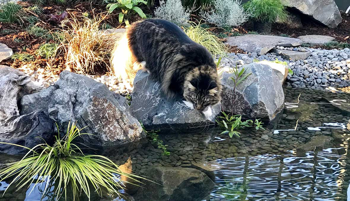 cat playing in Garden with Pond in Tauranga