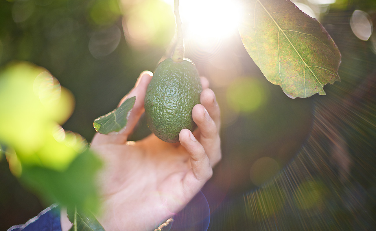 A hand holding one green avocado fruit