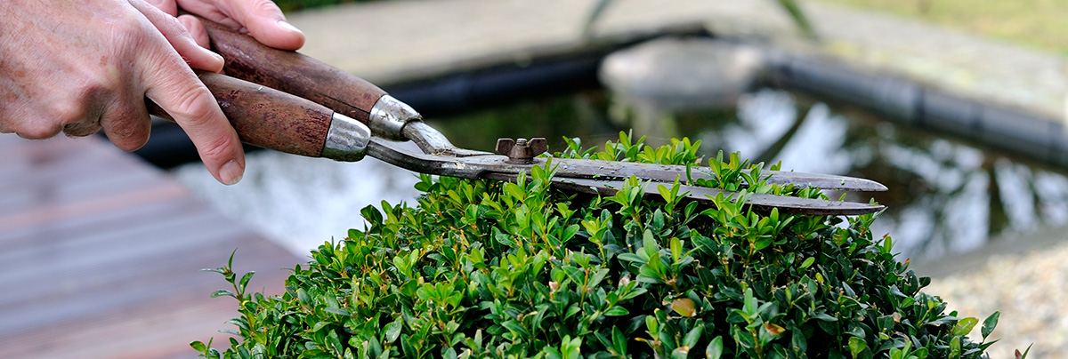 Picture of buxus planting and care by using trimmers