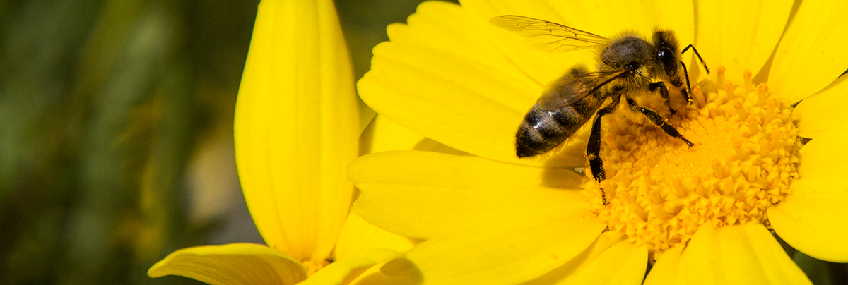 A bee on a yellow daisy flower