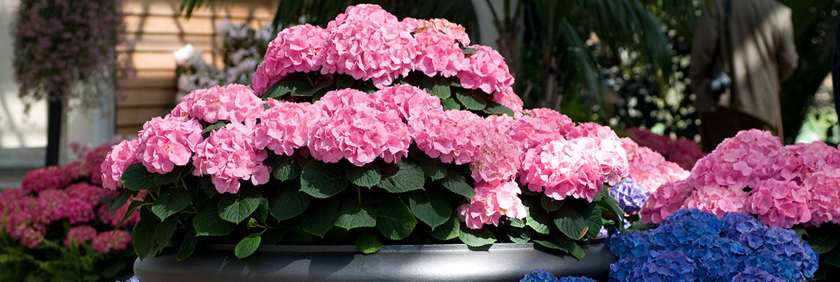 Pink and blue hydrangeas require different soil types.
