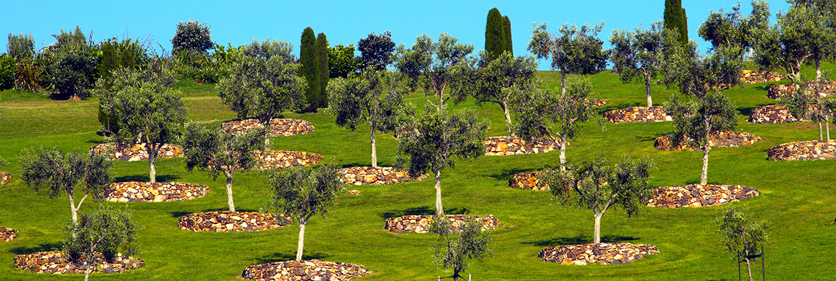 Olive trees along the hills found in Frnklin