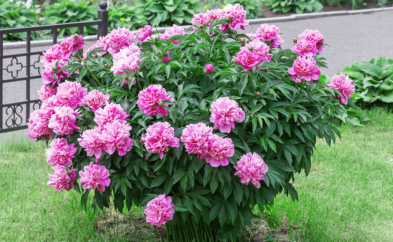 peonies growing in garden