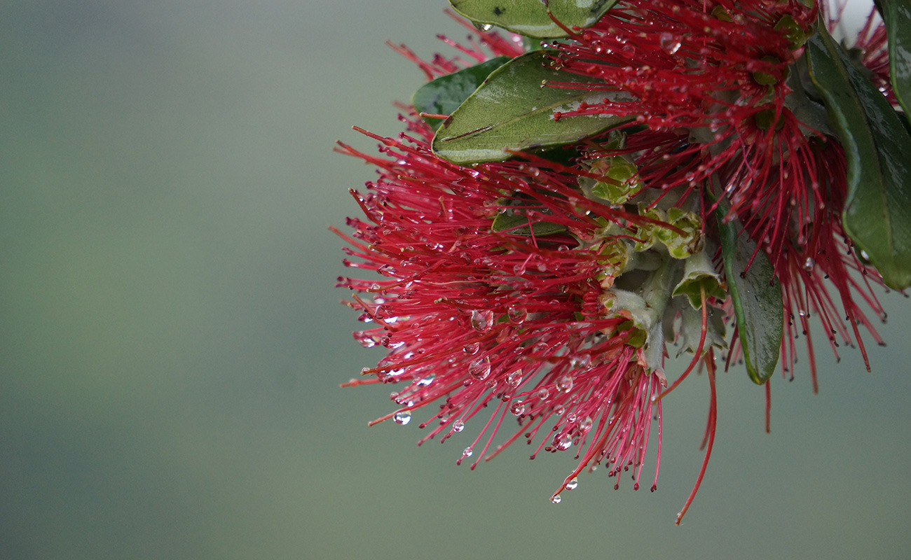 A close picture of a Pohutuwaka tree red flower with raindrops